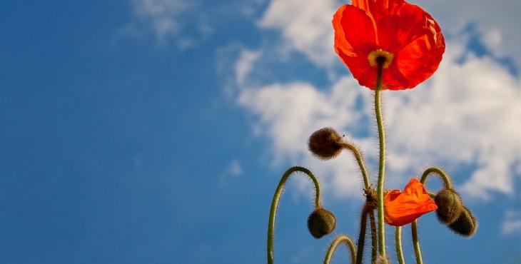 poppy-641423_1280